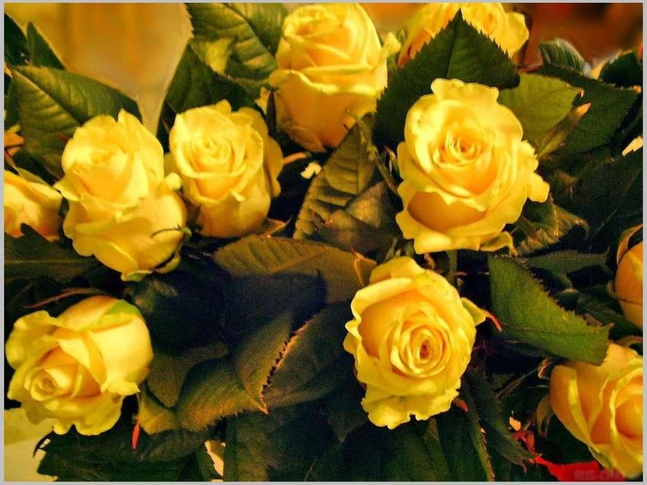 手機壁紙:植物, 花卉, 玫瑰, 明信片, #1960