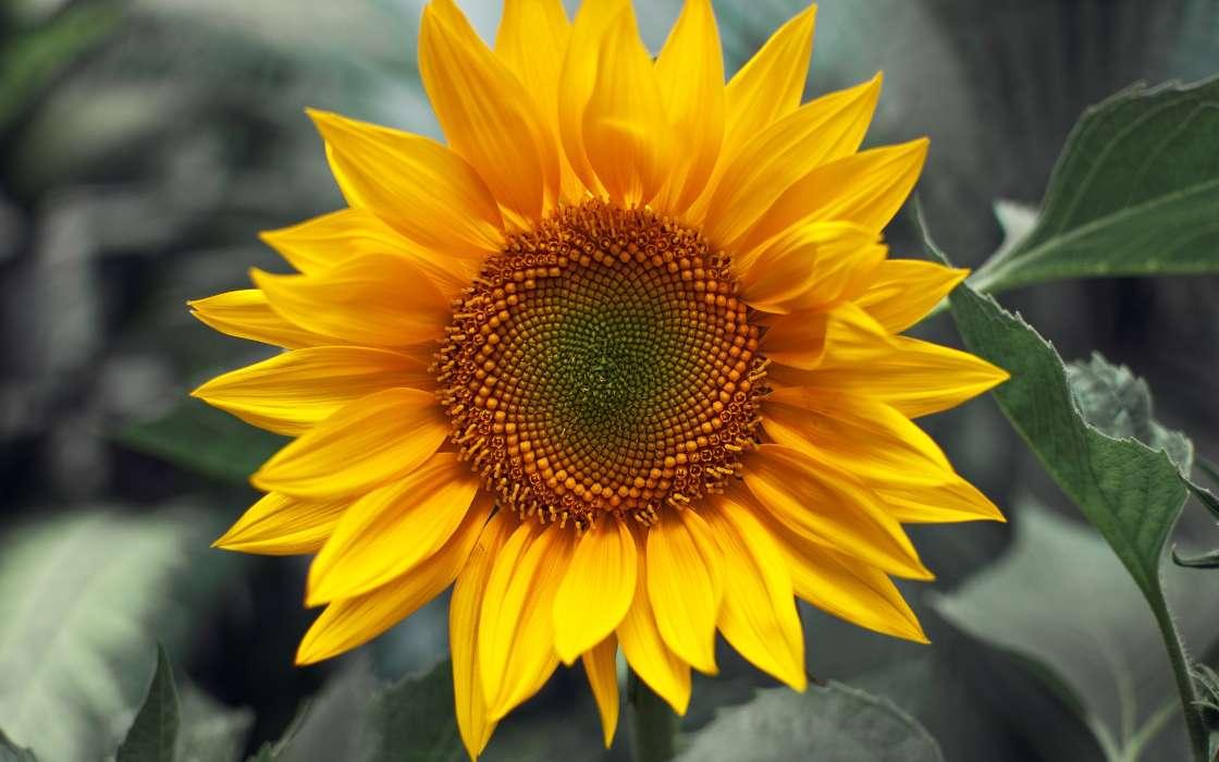 手机壁纸:植物, 花卉, 向日葵, #24369