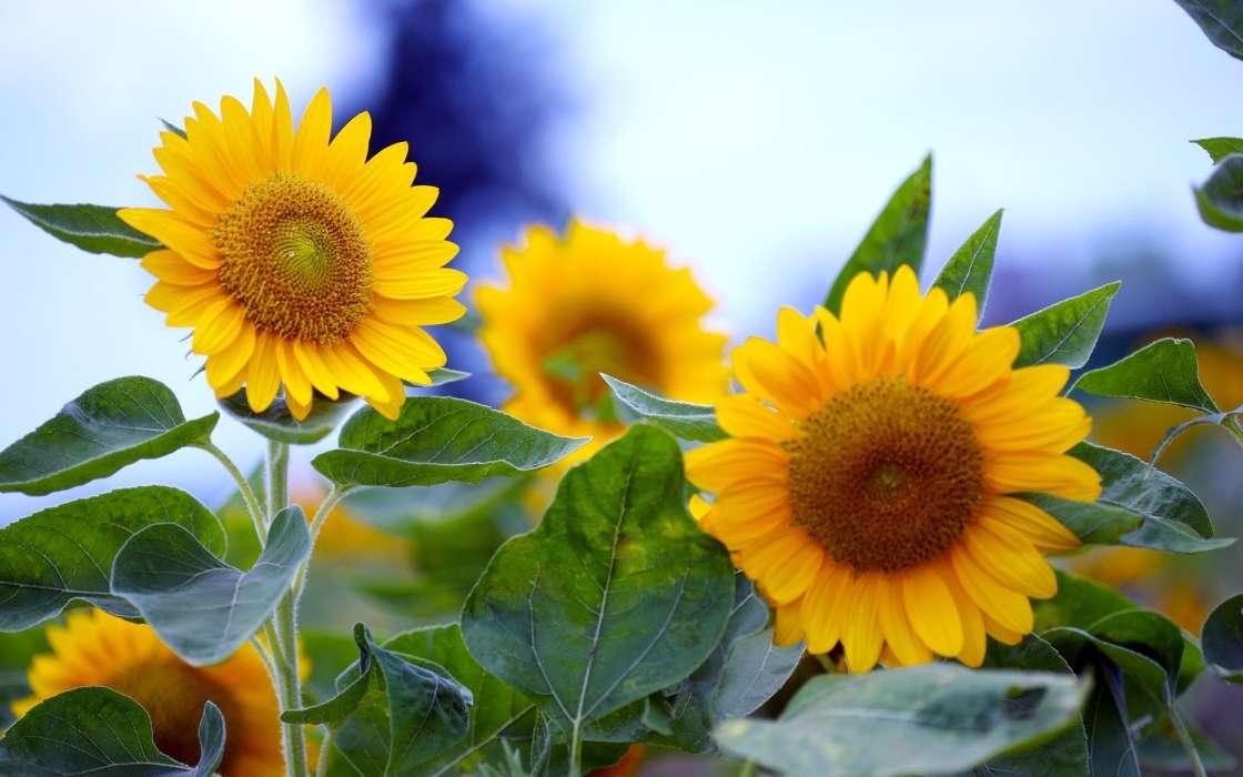 手机壁纸:植物, 花卉, 向日葵, #40660