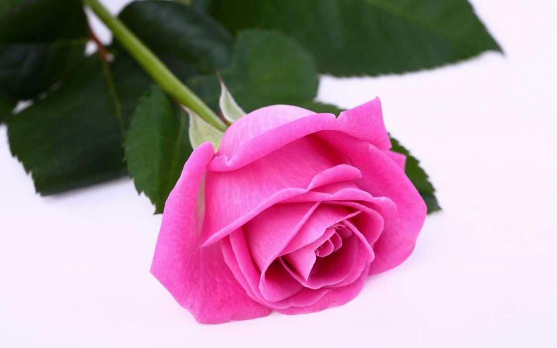 手機壁紙:植物, 花卉, 玫瑰, #33212
