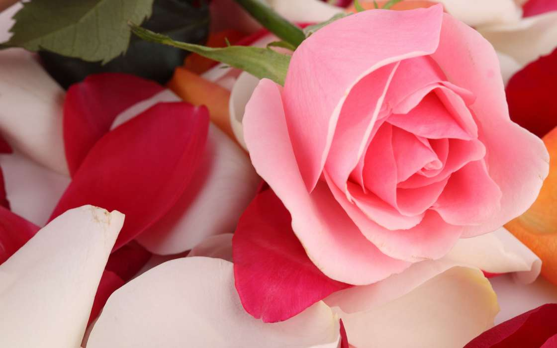 手機壁紙:植物, 花卉, 玫瑰, #35225