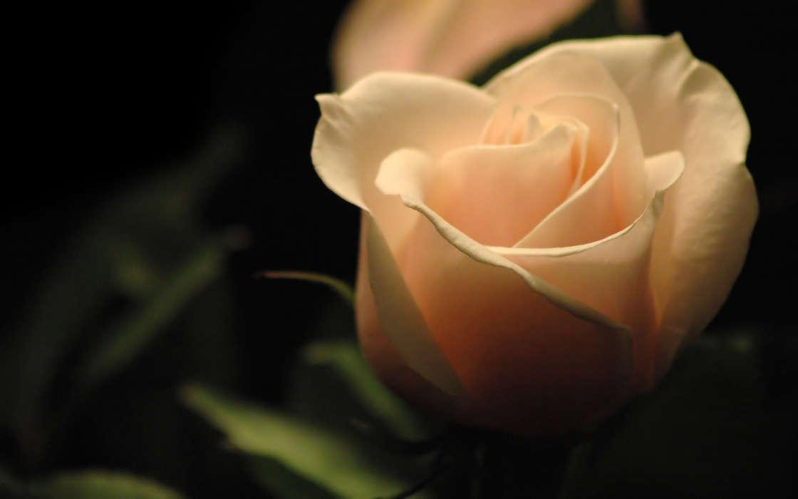 手機壁紙:植物, 花卉, 玫瑰, #38051