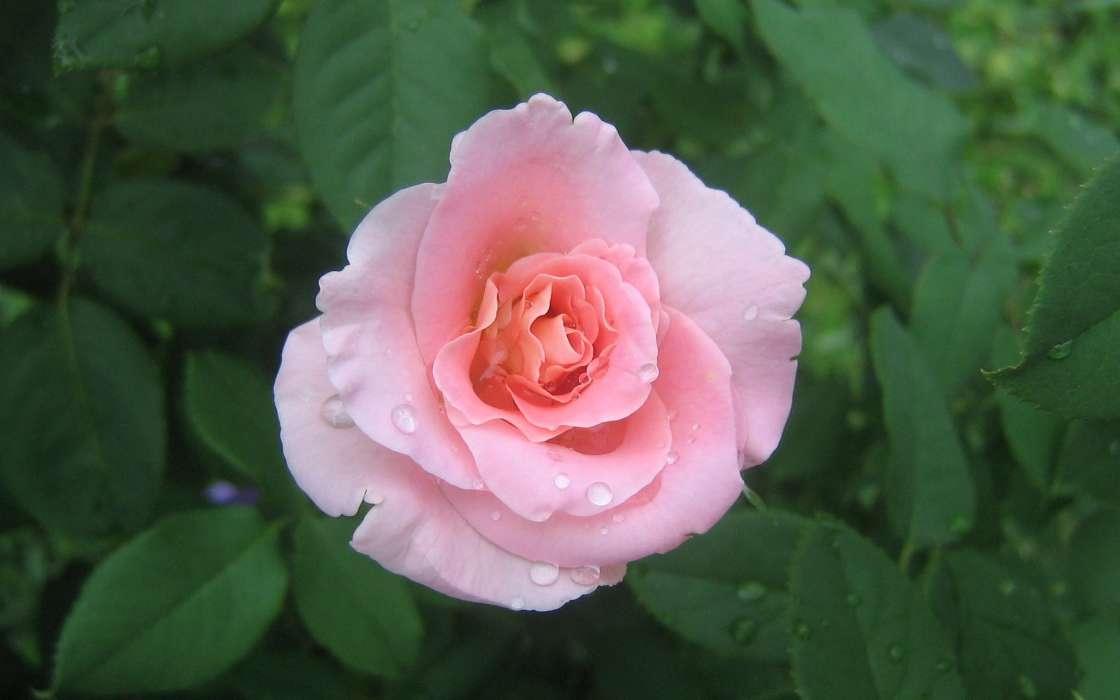 手機壁紙:植物, 花卉, 玫瑰, #39769