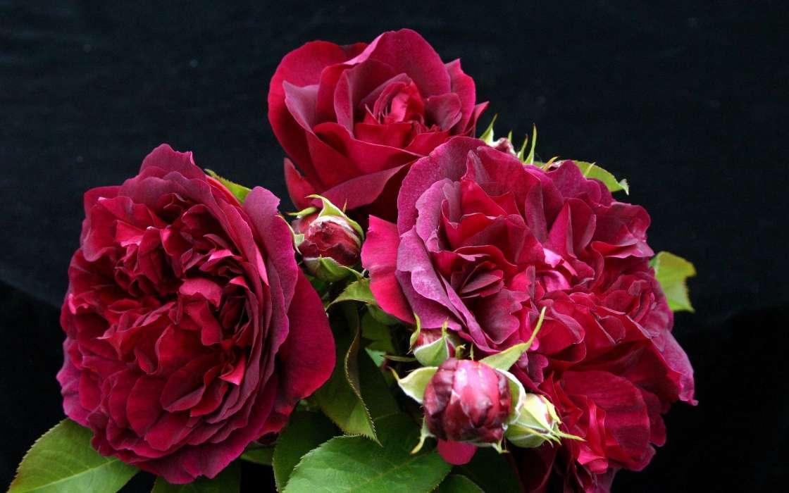 手機壁紙:植物, 花卉, 玫瑰, #40399