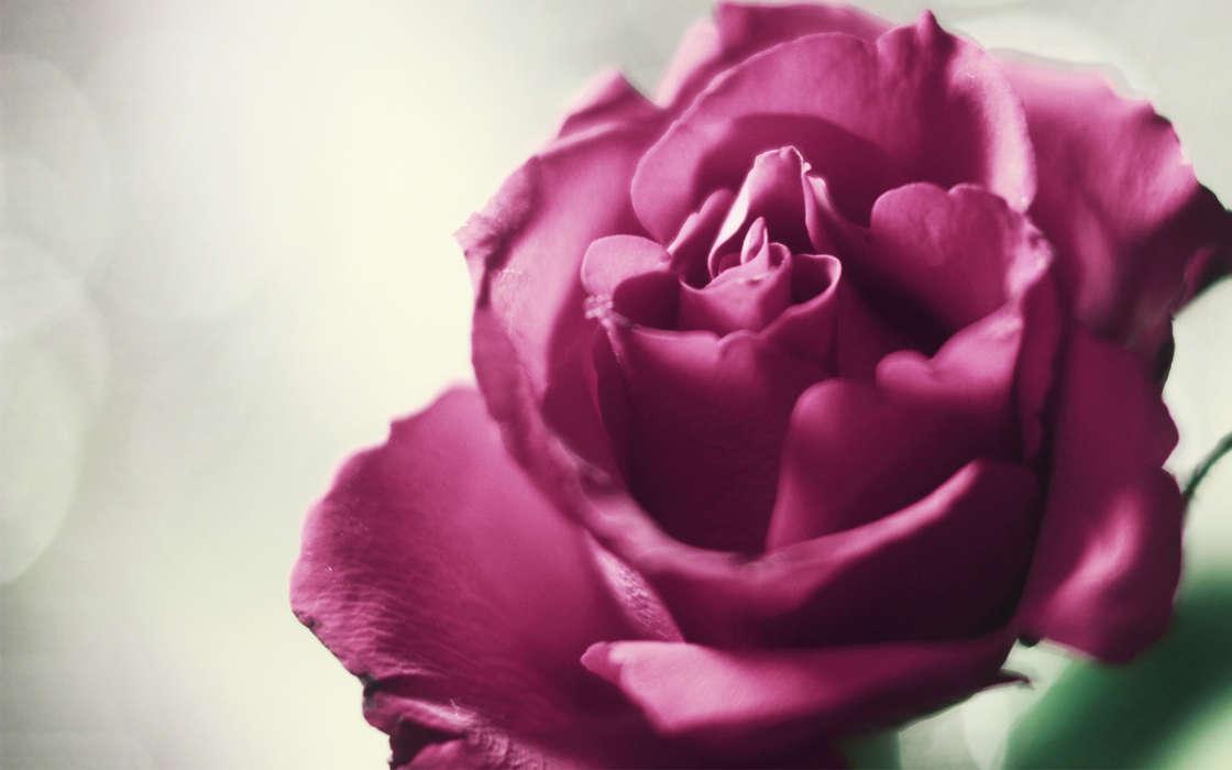 手機壁紙:植物, 花卉, 玫瑰, #40955