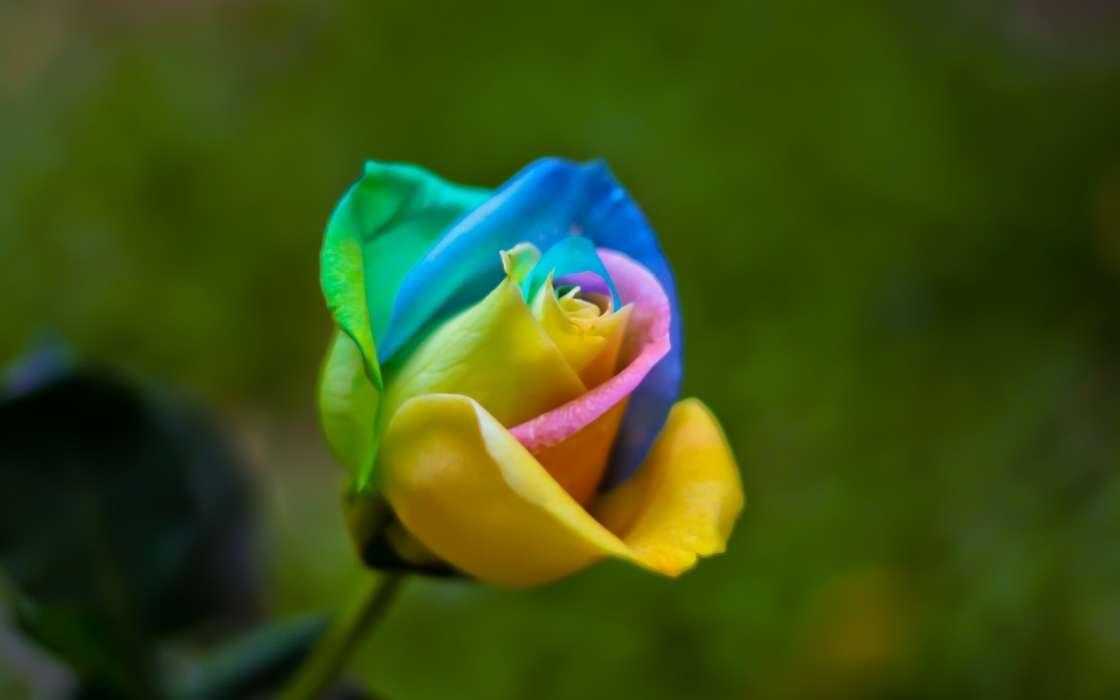 手機壁紙:植物, 花卉, 玫瑰, #42049