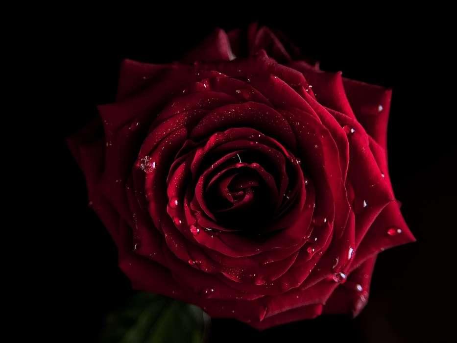 手機壁紙:植物, 花卉, 玫瑰, #42740