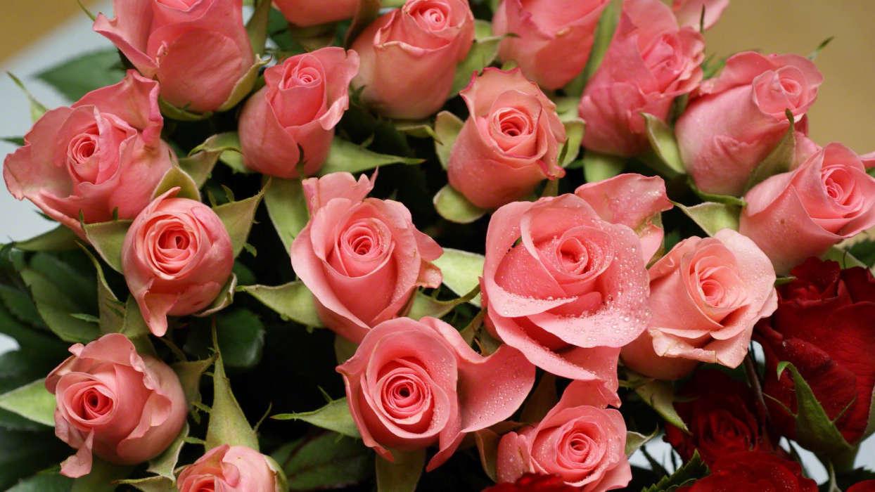 手機壁紙:植物, 花卉, 玫瑰, #43656