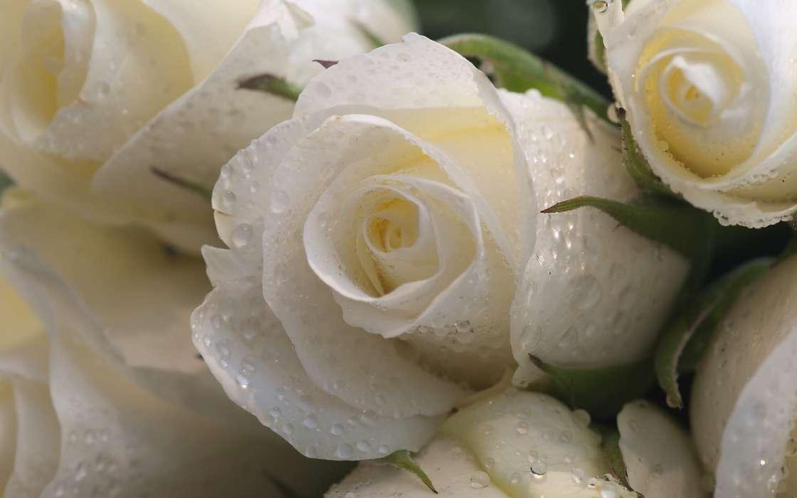 手機壁紙:植物, 花卉, 玫瑰, #44261