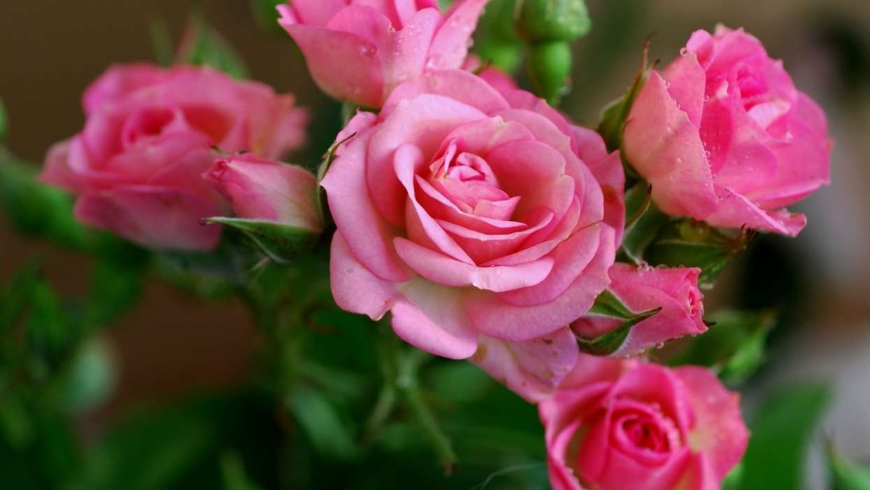 手機壁紙:植物, 花卉, 玫瑰, #44742