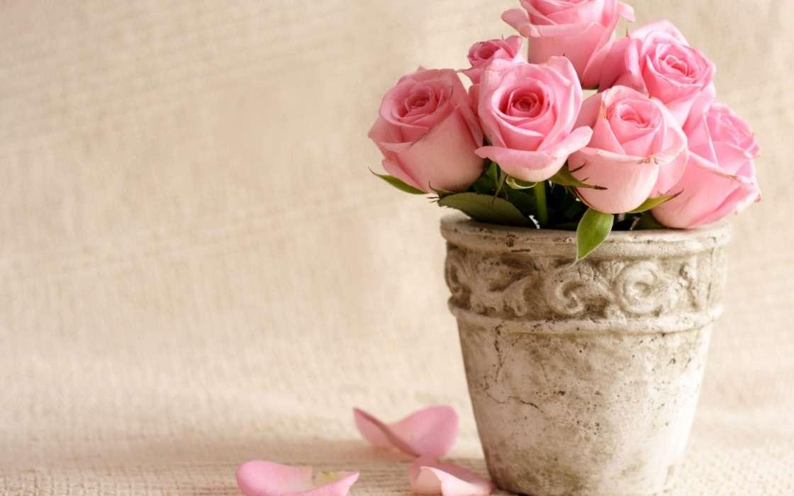 手機壁紙:植物, 花卉, 玫瑰, #45366