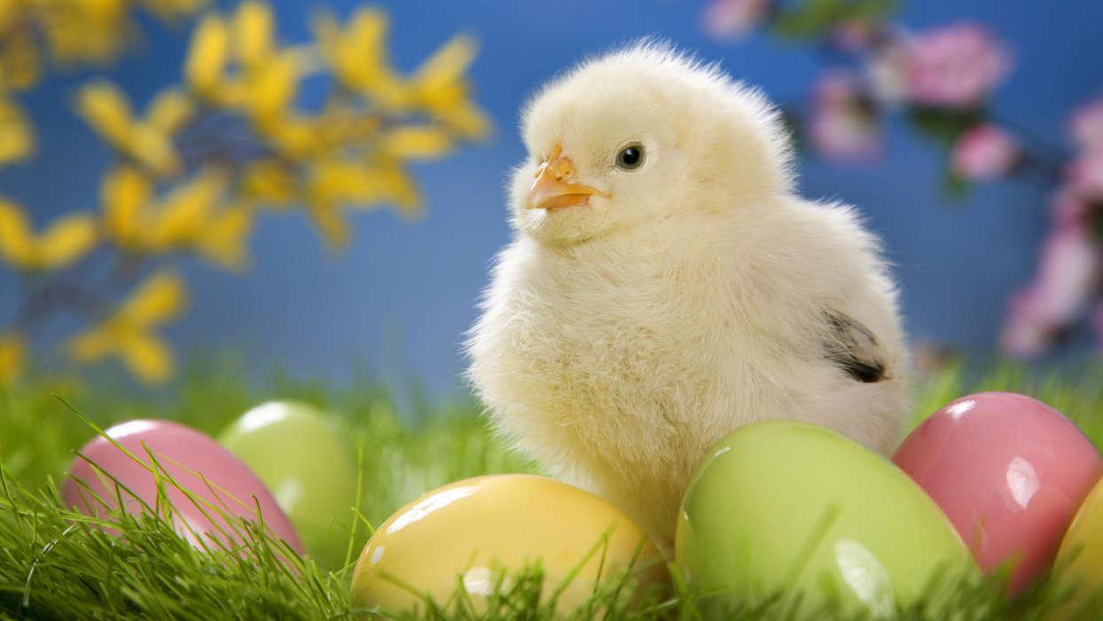 手机壁纸:动物, 鸟类, 小鸡, #32076