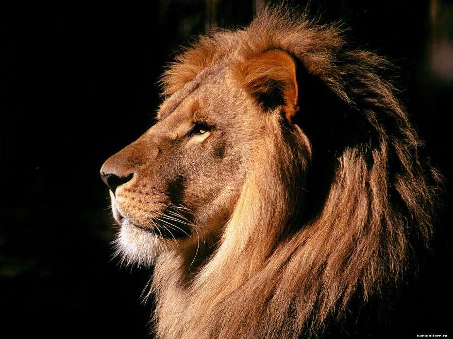 手机壁纸:动物, 狮子, #22254