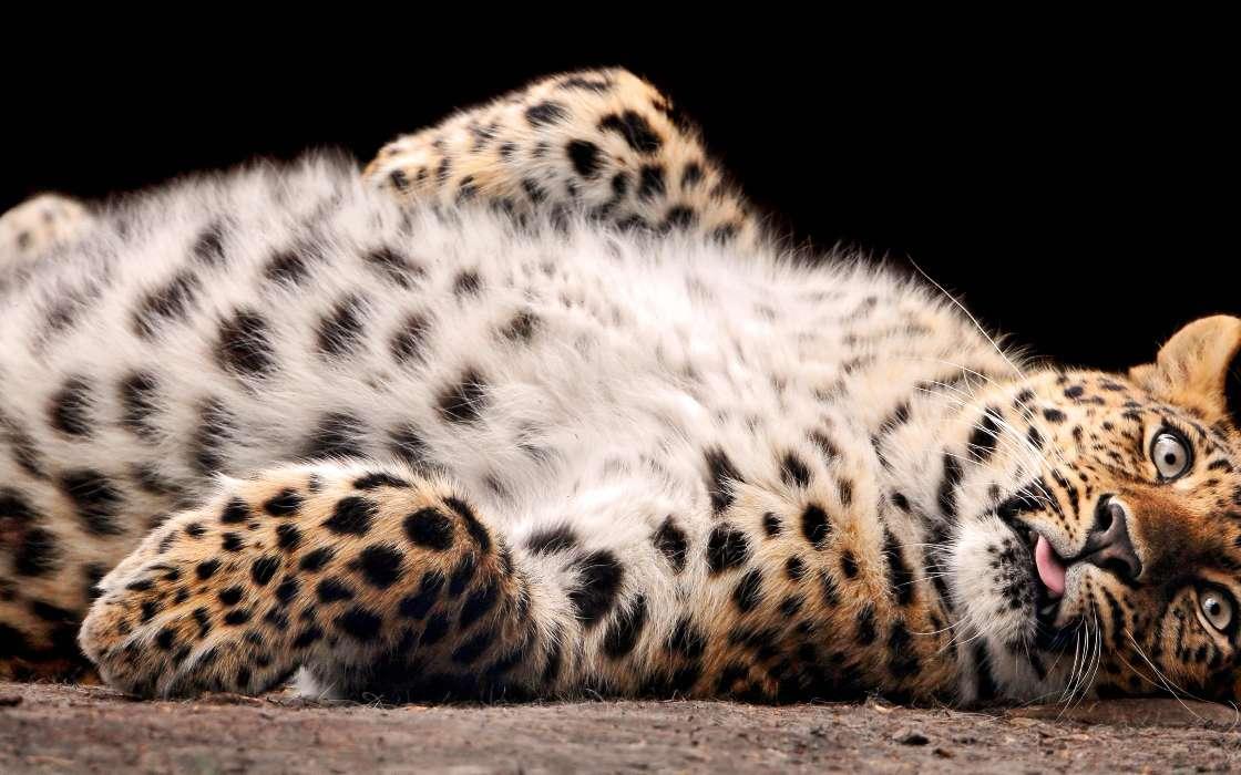 手机壁纸:动物, 黑豹, #44557