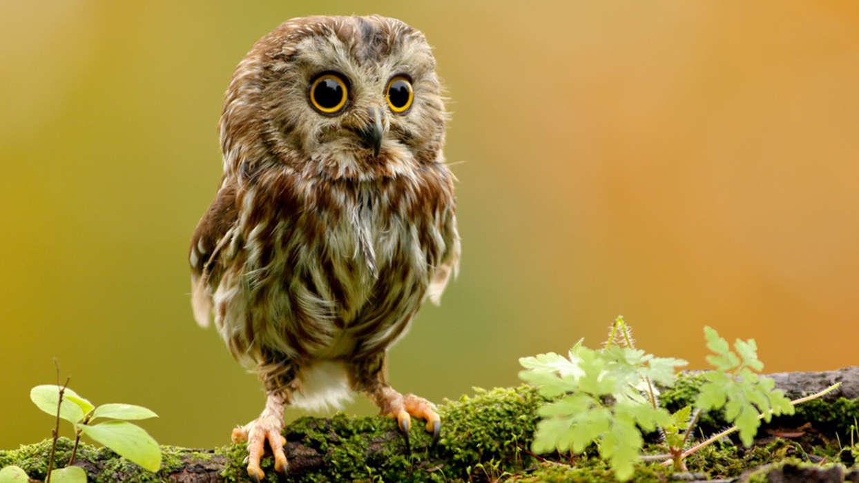 免费下载动物, 鸟类, 猫头鹰手机壁纸.