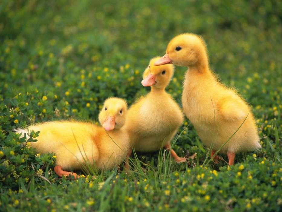 手机壁纸:动物, 鸟类, 鸭子, #26535