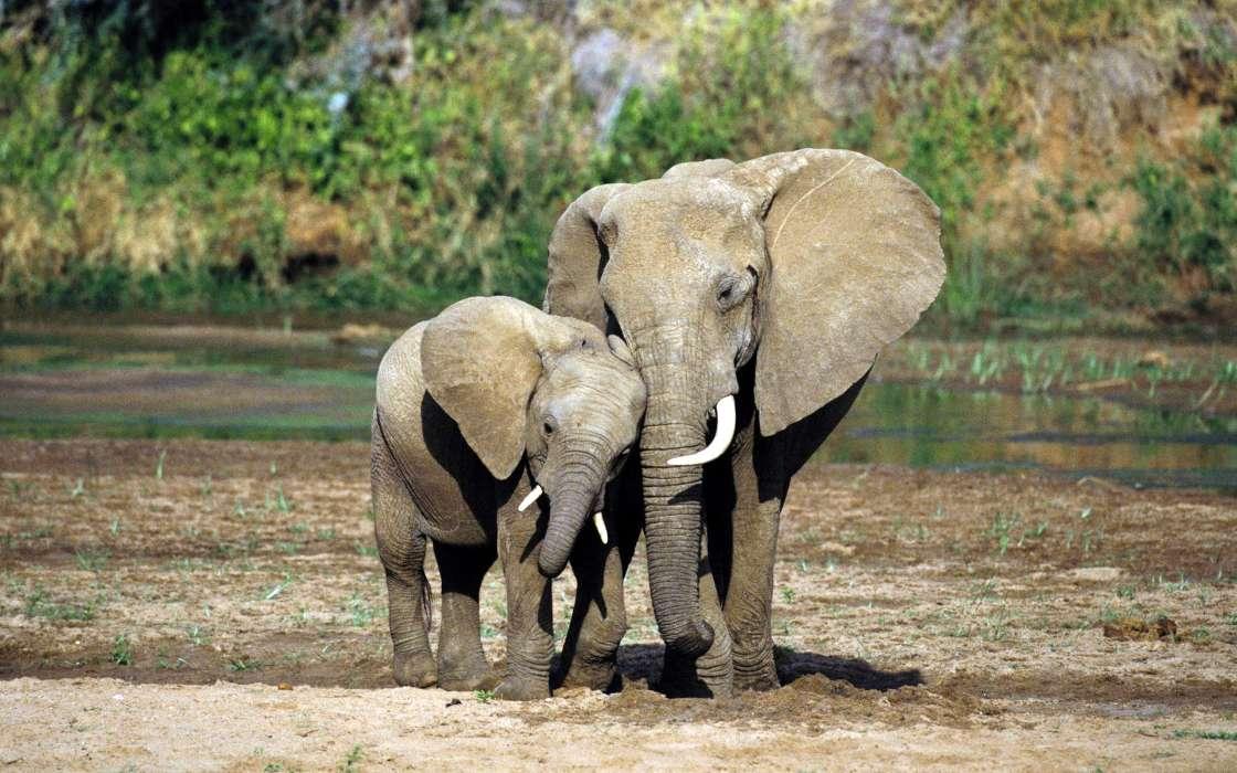 手机壁纸:动物, 大象, #29246