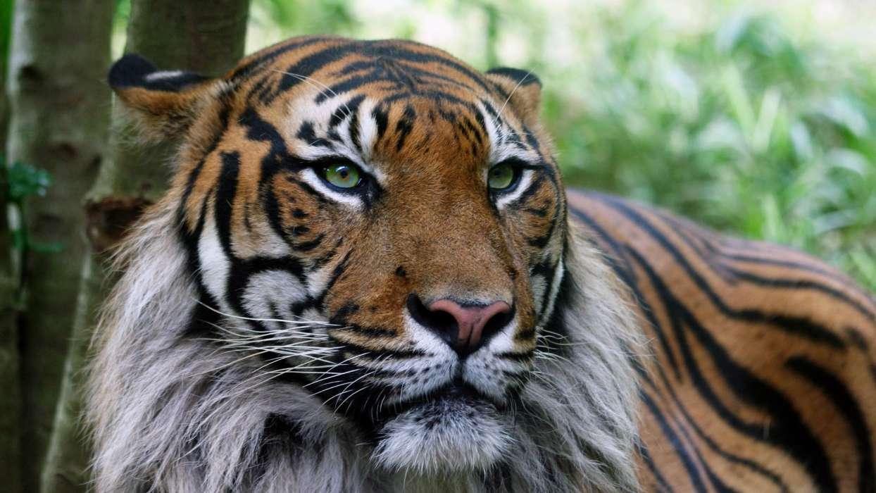 手机壁纸:动物, 老虎, #24360