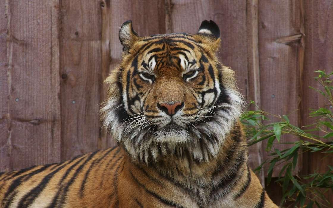 手机壁纸:动物, 老虎, #24736