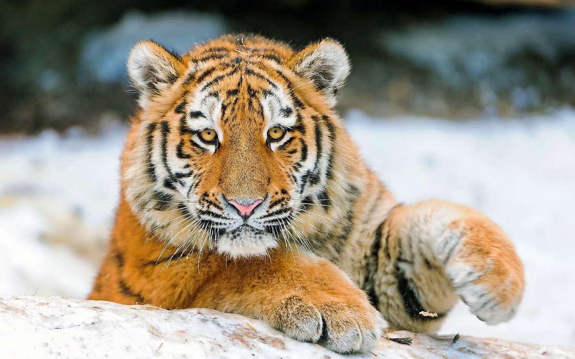 手机壁纸:动物, 老虎, #26293