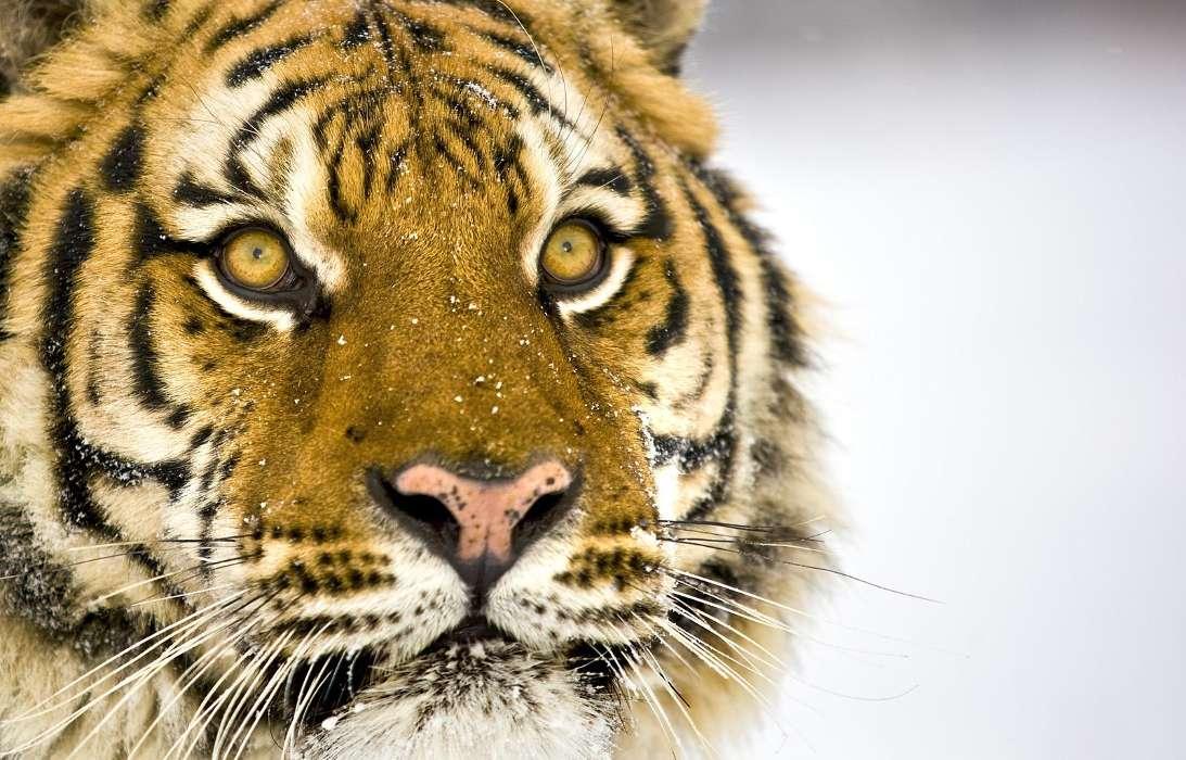 手机壁纸:动物, 老虎, #2658