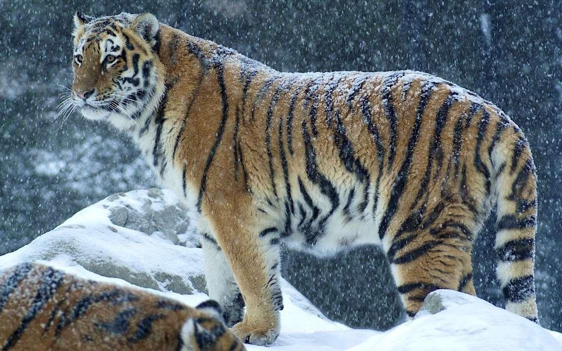 手机壁纸:动物, 老虎, #28673