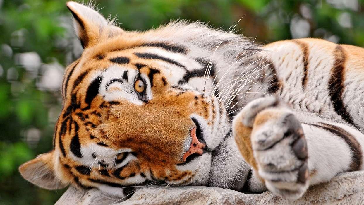 手机壁纸:动物, 老虎, #29164