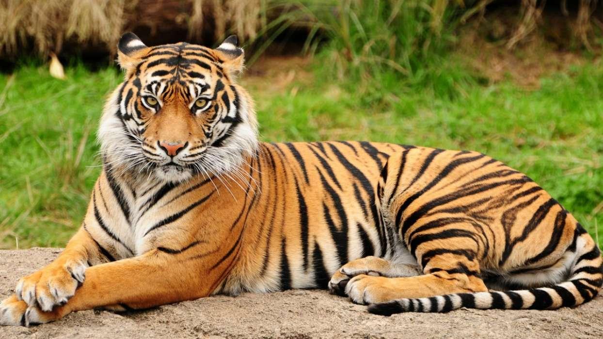 手机壁纸:动物, 老虎, #31248