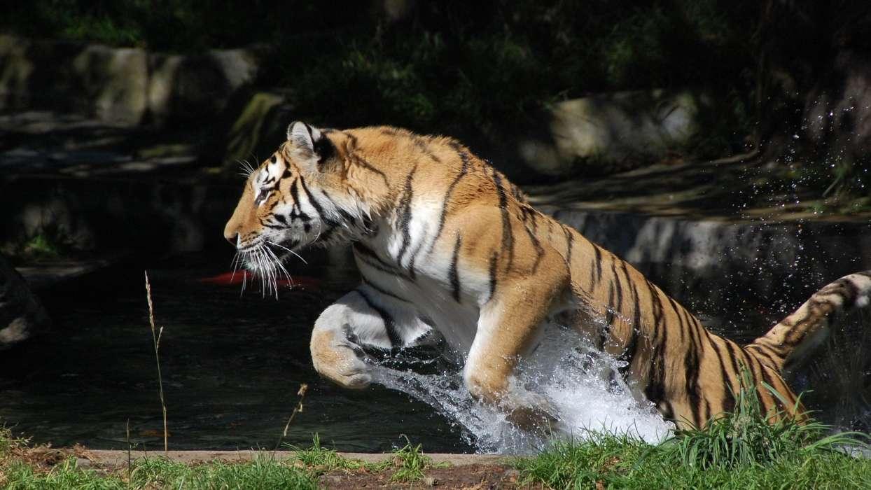 手机壁纸:动物, 老虎, #31711