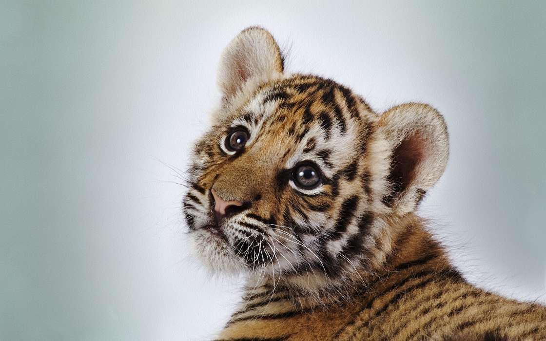 手机壁纸:动物, 老虎, #36534