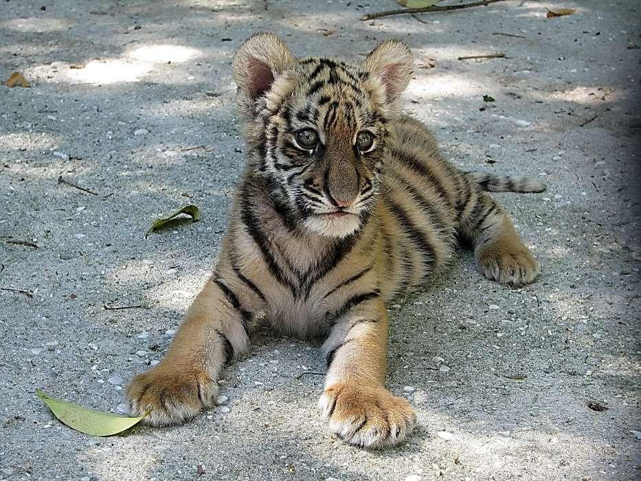 手机壁纸:动物, 老虎, #6969