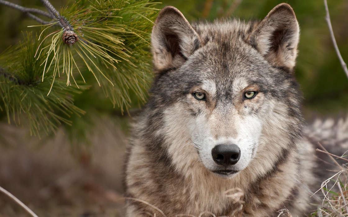 手机壁纸:动物, 狼, #22422