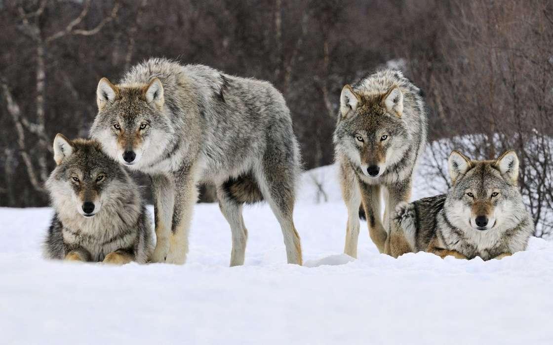 手机壁纸:动物, 狼, #36434
