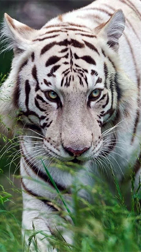 Download Bengal tiger - livewallpaper for Android. Bengal tiger apk - free download.