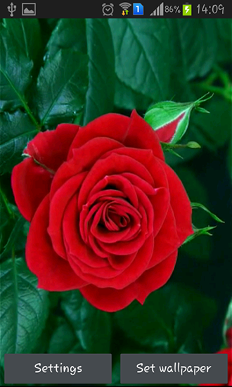 Download livewallpaper Blooming red rose for Android. Get full version of Android apk livewallpaper Blooming red rose for tablet and phone.
