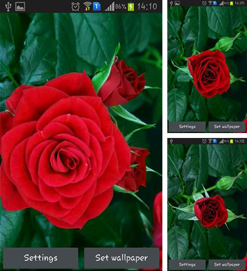 In addition to live wallpaper Analog clock by Alexander Kutsak for Android phones and tablets, you can also download Blooming red rose for free.