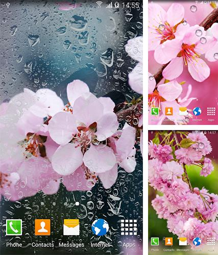 Cherry in blossom by BlackBird Wallpapers