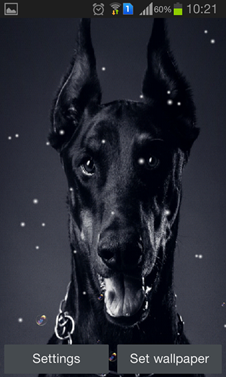 Kostenloses Android-Live Wallpaper Doberman. Vollversion der Android-apk-App Doberman für Tablets und Telefone.