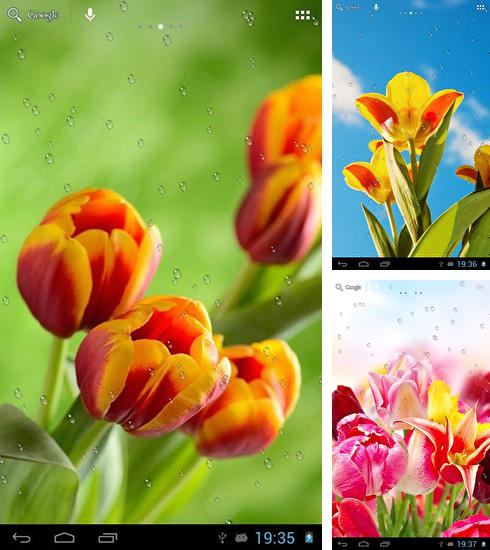 In addition to live wallpaper Raindrops for Android phones and tablets, you can also download Drops on tulips for free.