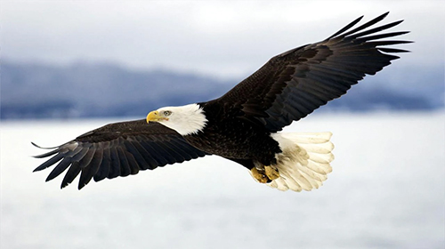Download Eagle by KKPICTURE - livewallpaper for Android. Eagle by KKPICTURE apk - free download.