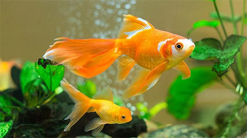 Download livewallpaper Goldfish for Android. Get full version of Android apk livewallpaper Goldfish for tablet and phone.