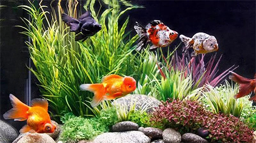 Download Goldfish - livewallpaper for Android. Goldfish apk - free download.