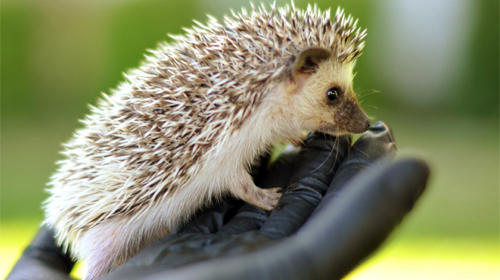Download livewallpaper Hedgehogs for Android. Get full version of Android apk livewallpaper Hedgehogs for tablet and phone.