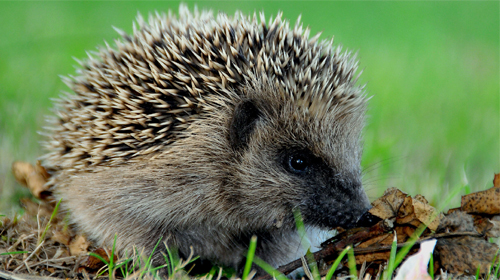 Download Hedgehogs - livewallpaper for Android. Hedgehogs apk - free download.