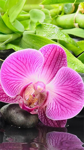 Download livewallpaper Orchid by Art LWP for Android. Get full version of Android apk livewallpaper Orchid by Art LWP for tablet and phone.