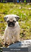 Playful pugs - download free live wallpapers for Android. Playful pugs full Android apk version for tablets and phones.