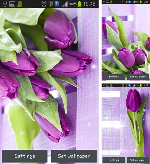 In addition to live wallpaper Tibet 3D for Android phones and tablets, you can also download Purple tulips for free.