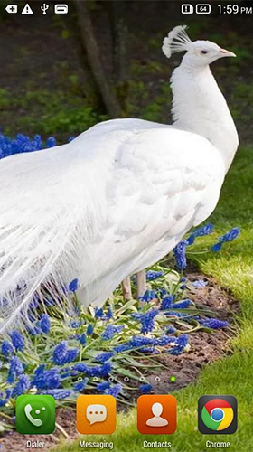 Download Queen peacock - livewallpaper for Android. Queen peacock apk - free download.