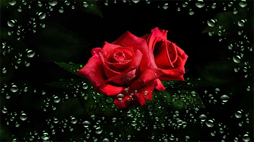Download Roses diamond dew - livewallpaper for Android. Roses diamond dew apk - free download.