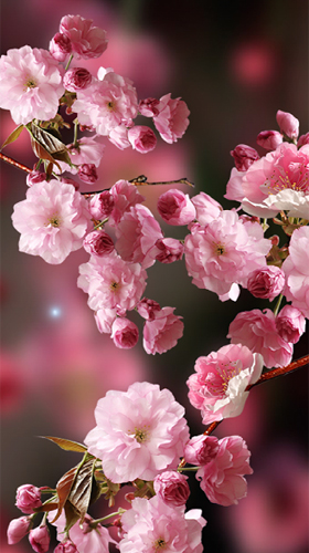 Sakura By Amax Lwps Live Wallpaper For Android Sakura By Amax Lwps